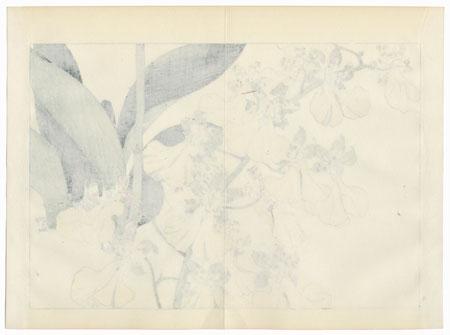Oncidium Ornithorhynchum by Tanigami Konan (1879 - 1928)